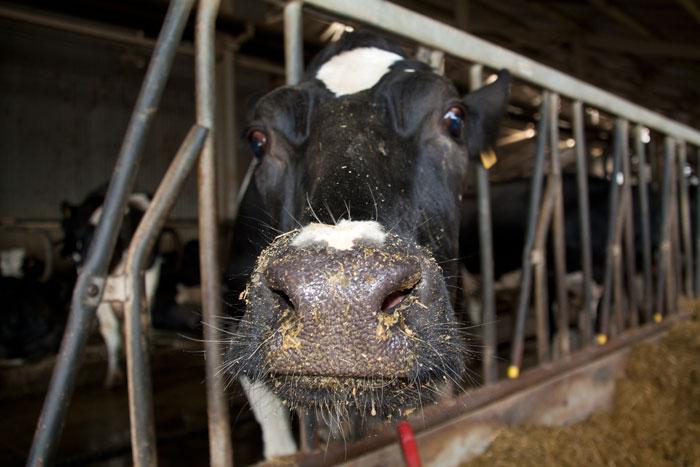 Интересные факты о коровьем молоке