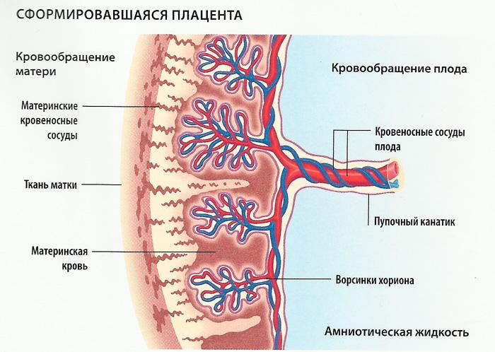 Фето-плацентарный барьер. Кровообращение внутри плаценты