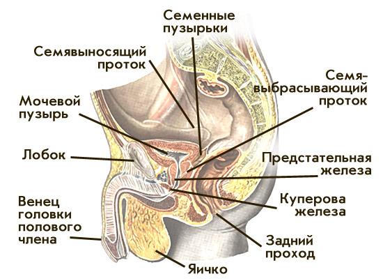под микроскопом половые органы фото