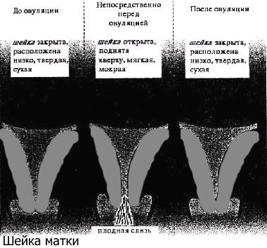 Положение шейки матки